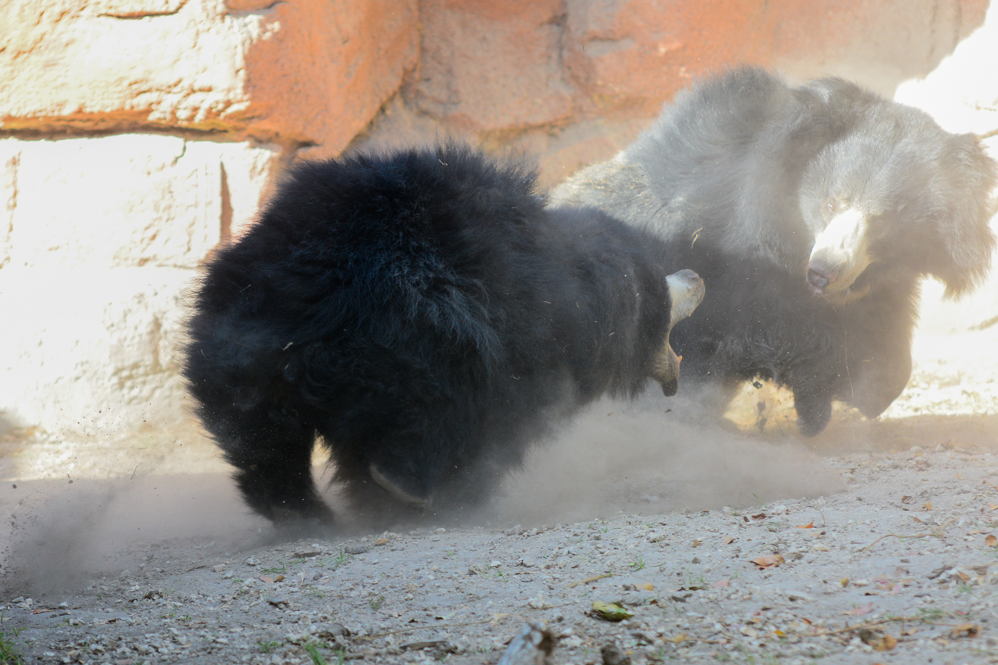 Zoo Miami Sloth Bears Rumble